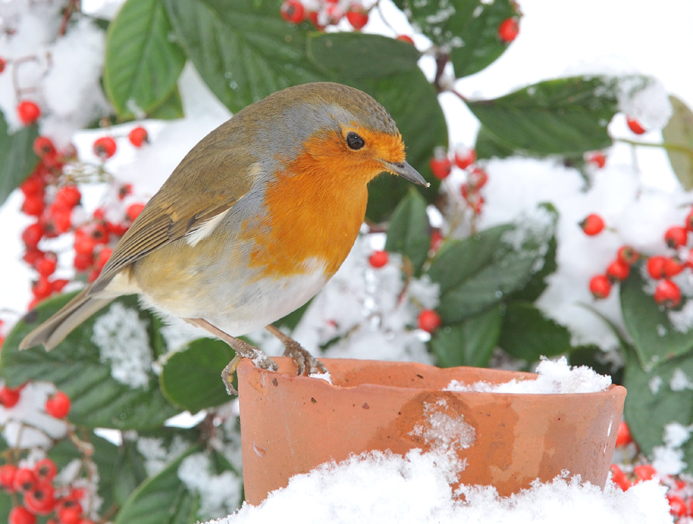 Photograph Robin by Kevin  Keatley on 500px