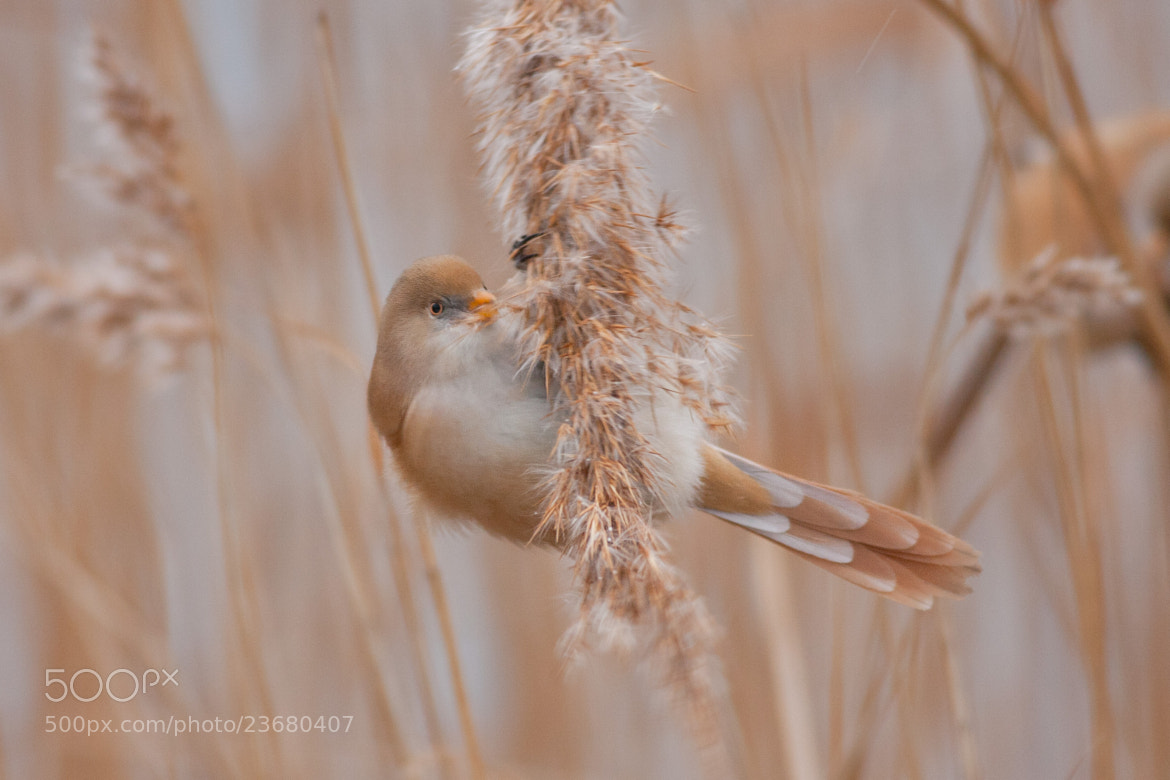 Photograph Bearded Tit by Max Brown on 500px