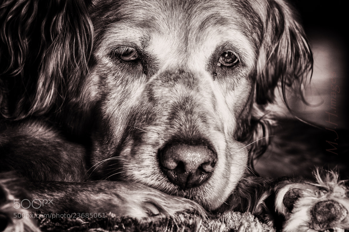 Photograph Sweet old puppy by M.J. Hamilton on 500px