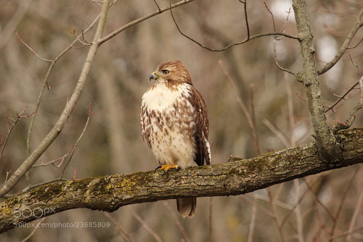 Photograph Hawk in tree by Jason McSpadden on 500px
