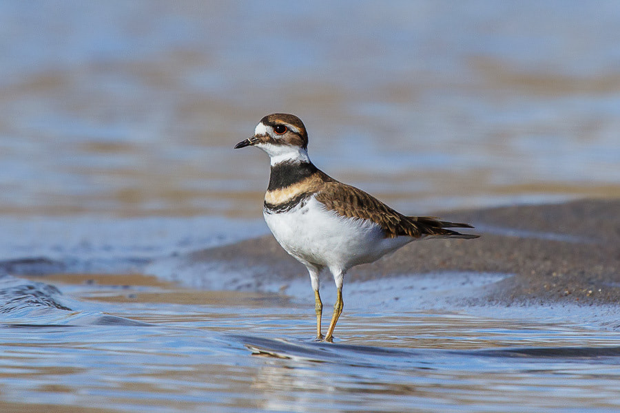 Photograph .: Killdeer :. by Jon Rista on 500px