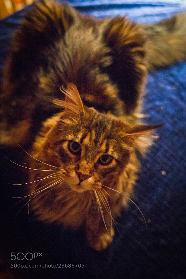 Photograph Maine Coon by Daniel Solstrand on 500px