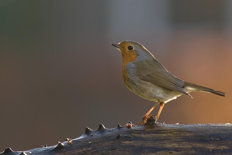 Robin in beautiful light