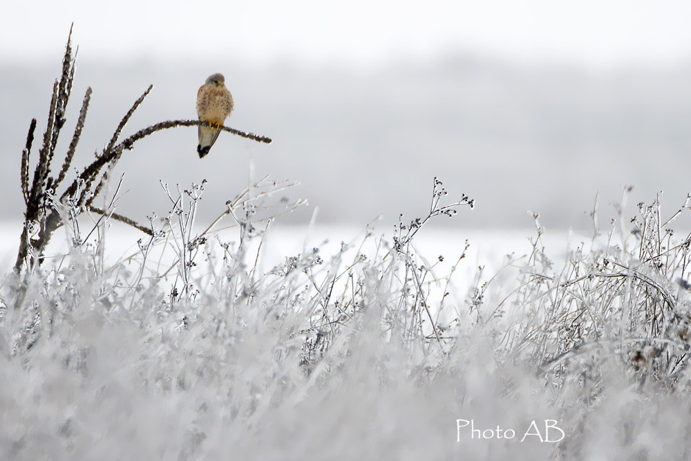 Photograph Kestrel and ice... by Alain Balthazard on 500px