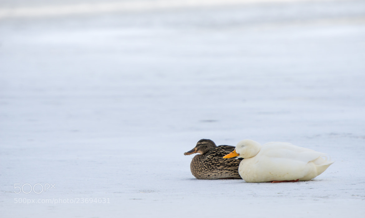 Photograph Ducks chillin' by Klaus Dreyer on 500px