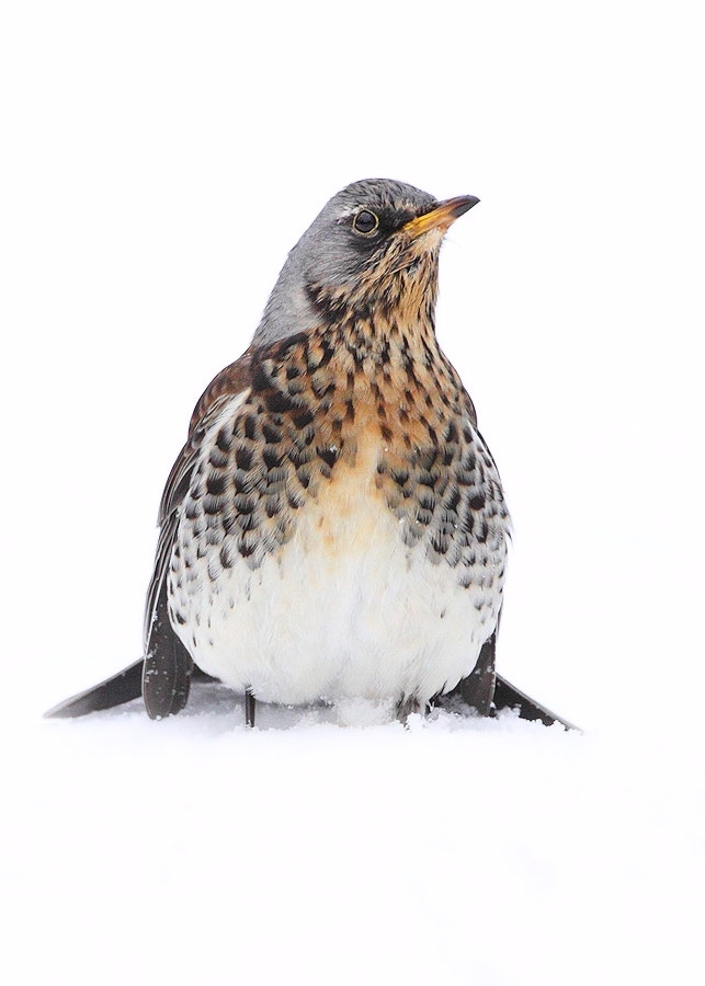 Photograph Fieldfare by Karen Summers on 500px