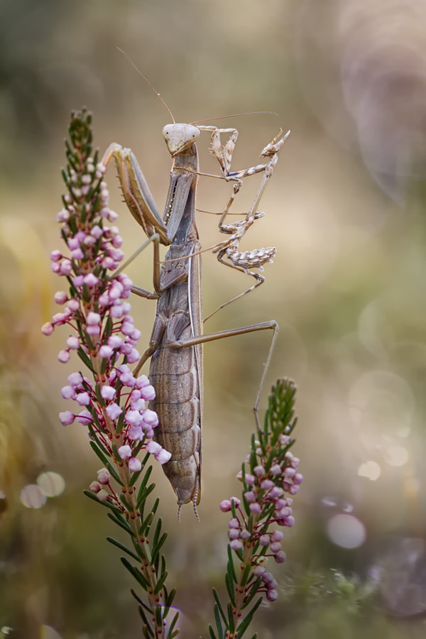 La Mantis y la Empusa by Carlos  Barriuso on 500px.com
