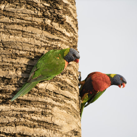 A Pair of Lorikeets