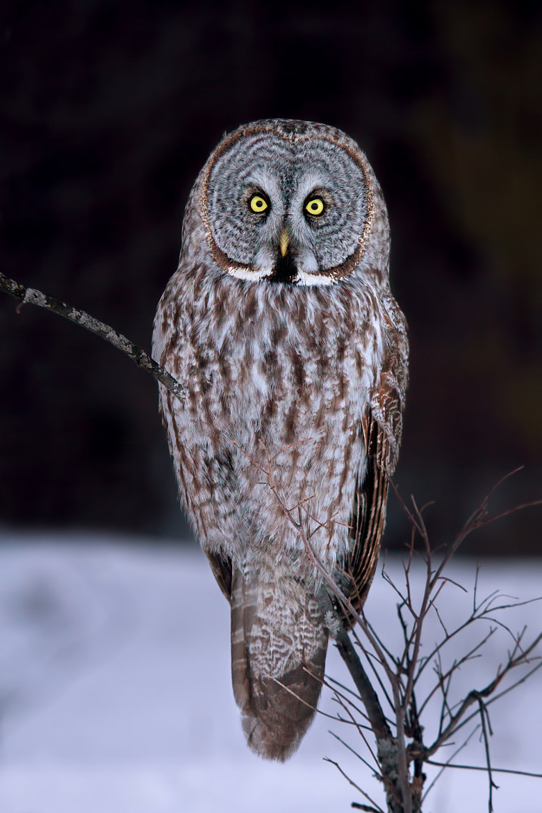 Photograph Portrait of a Great Grey Owl by Jim Cumming on 500px
