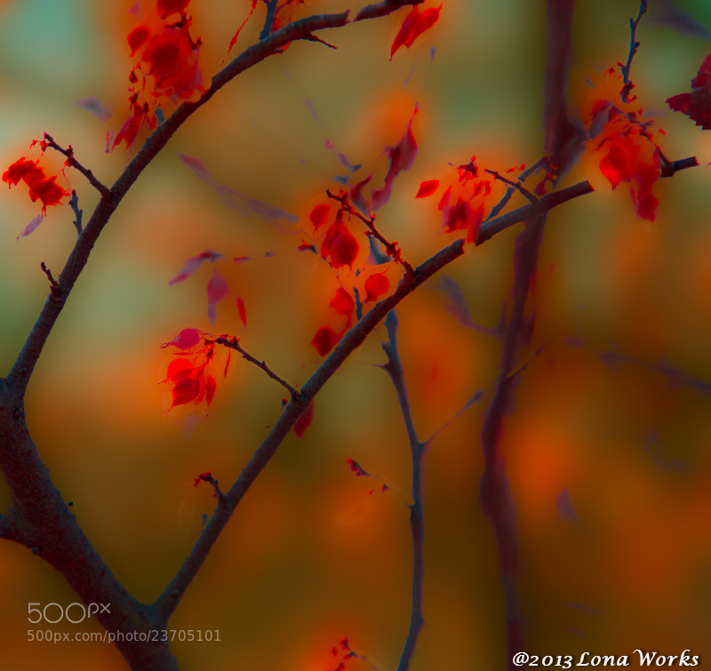 Photograph Red leaves by Tomoaki Kabe on 500px