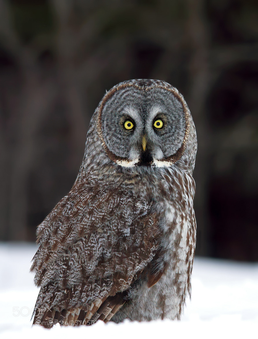 Photograph Great Gray Owl by Jim Cumming on 500px