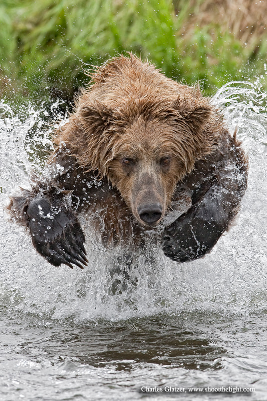 Photograph Charging bear by Charles Glatzer on 500px