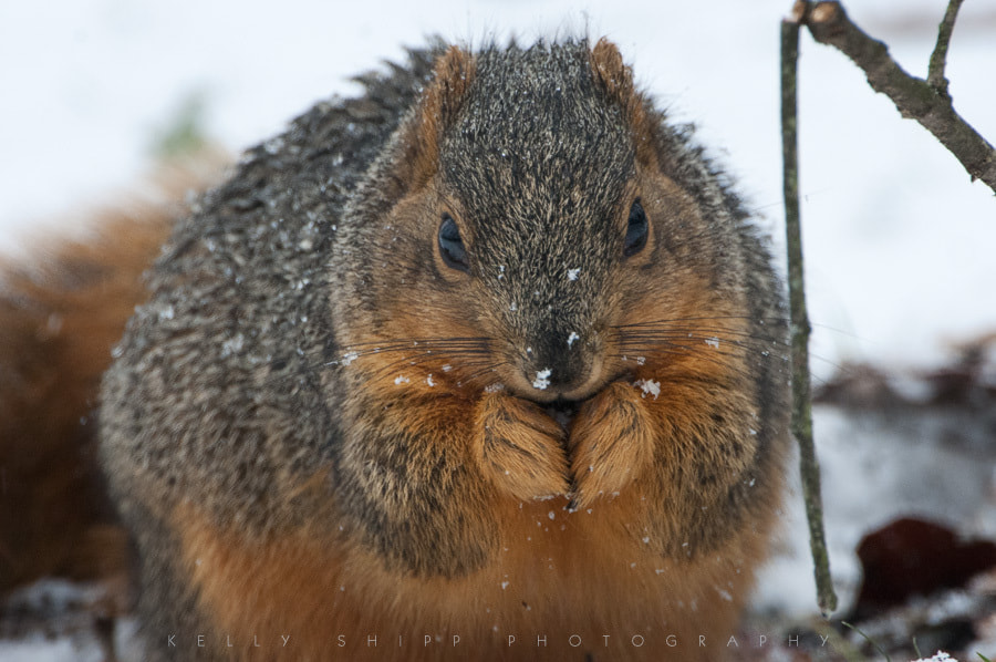 Photograph Fox Squirrel in the snow. by Kelly Shipp on 500px