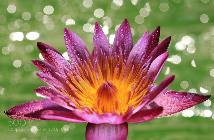 Photograph Pink-Purple Lotus by Prachit Punyapor on 500px