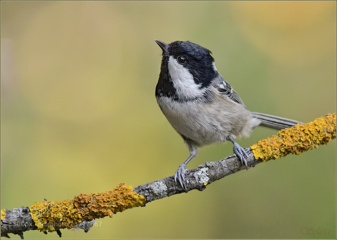 Photograph Coal tit in the autumn colors by Anna Golubeva on 500px