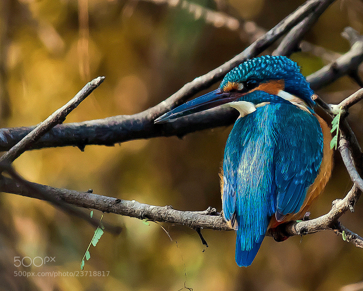 Photograph The kingfisher.. comments/critics welcome by Samrat  Mukhopadhyay on 500px