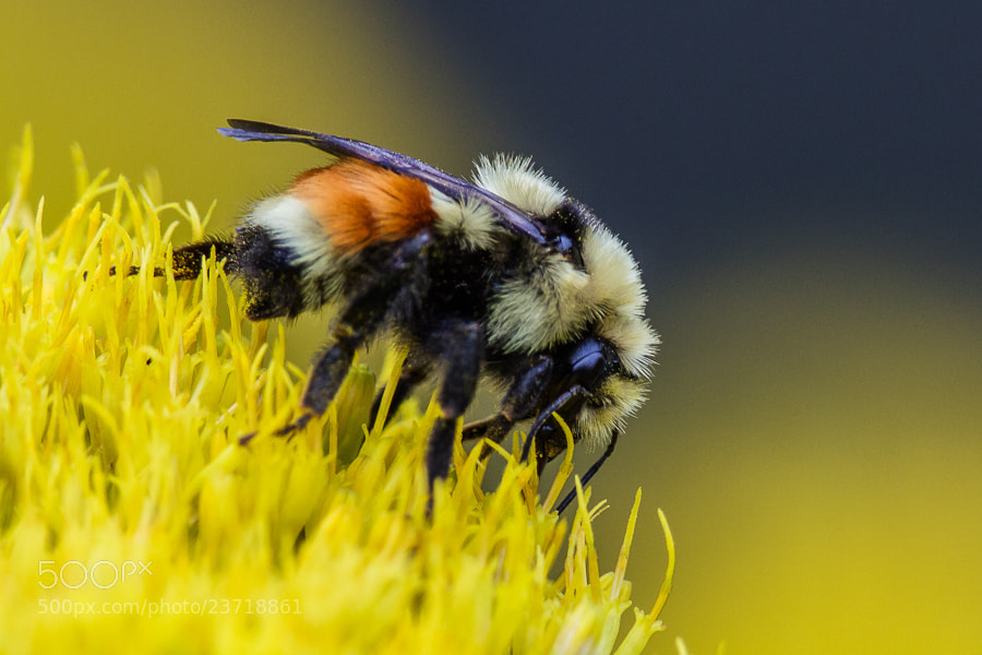 Photograph .: Bumble Bee Blue :. by Jon Rista on 500px