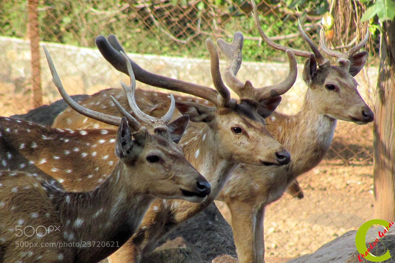 Photograph Dear Deers by CHANDAN GARAI on 500px
