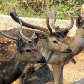 Dear Deers by CHANDAN GARAI (DHRUB)) on 500px.com