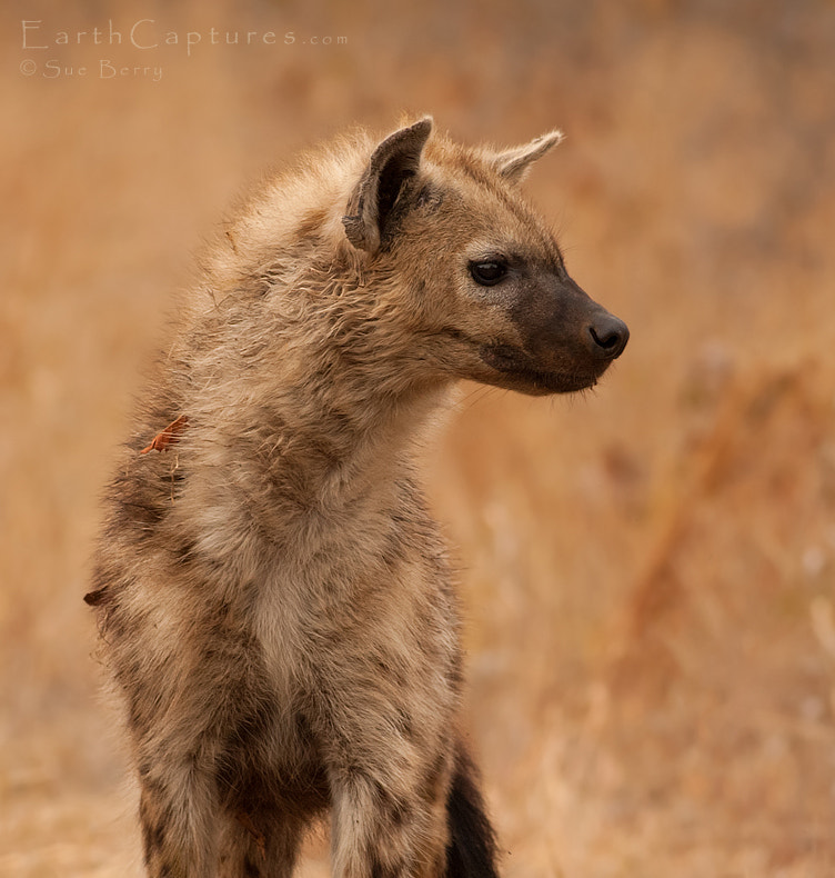 Photograph Hyena patrol by Sue Berry on 500px