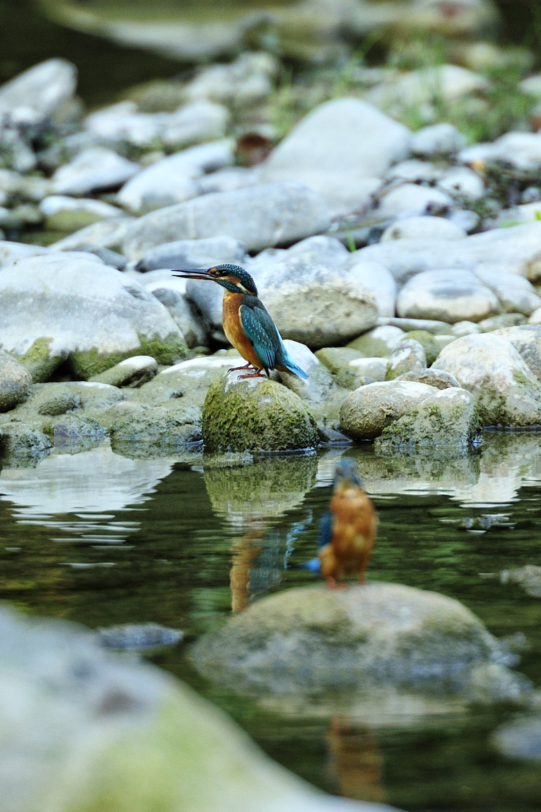 Photograph Double King Fisher by Quadri Ulisse on 500px