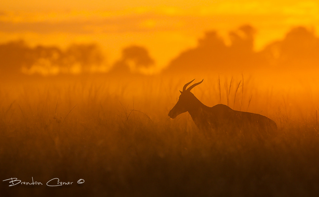 Photograph Tsessebe In the Mist by Brendon Cremer on 500px