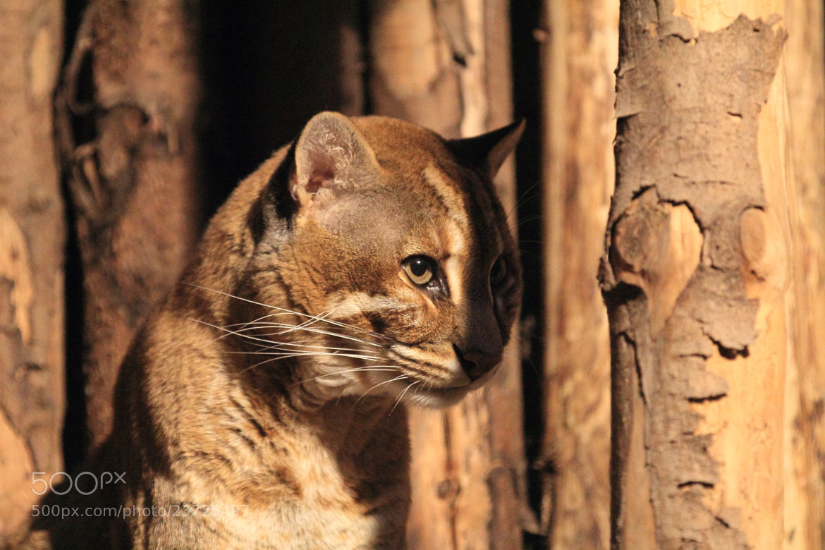 Photograph Asian golden cat by Eva Lechner on 500px
