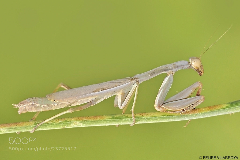Photograph Mantis&Menta by Felipe  vilarroya on 500px