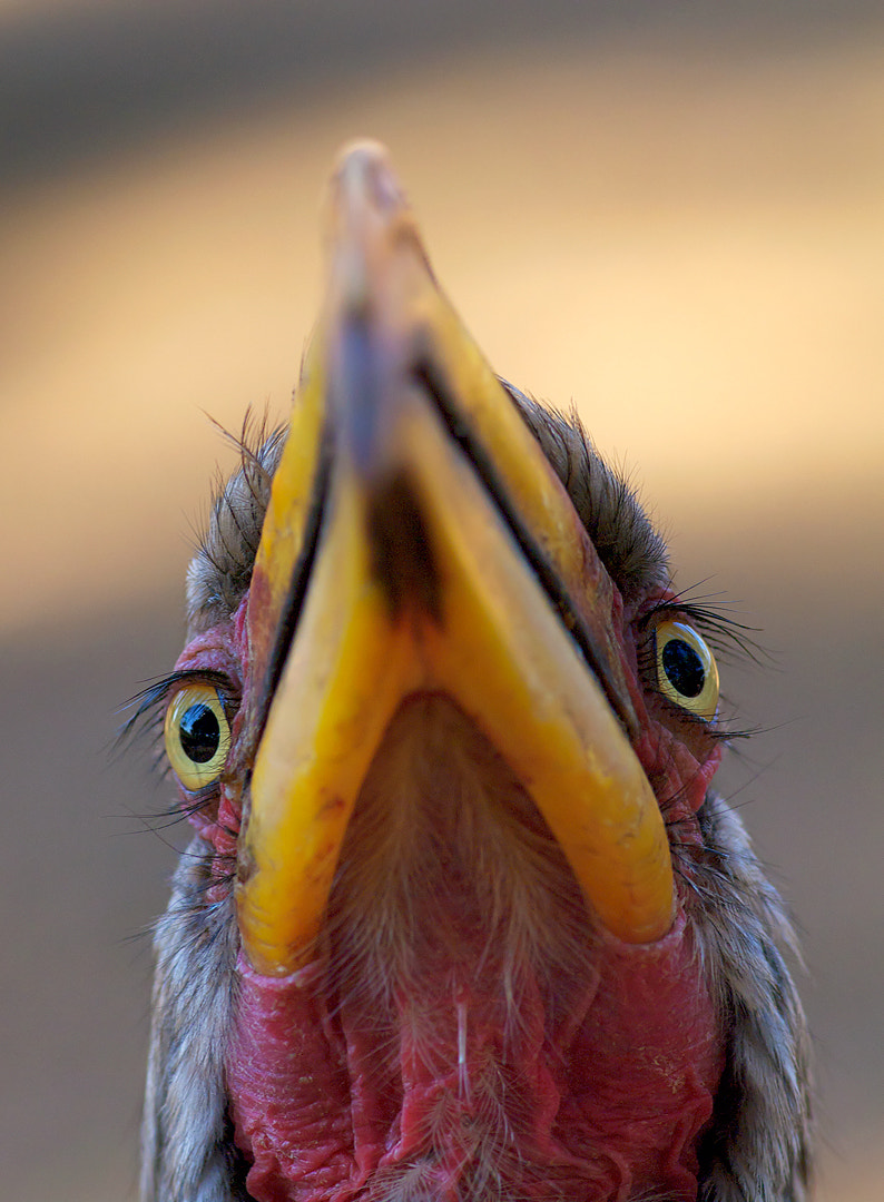 Photograph Yellow Billed Hornbill by Mike Muizebelt on 500px