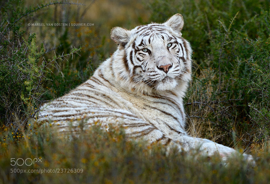 Photograph Snow White by Marsel van Oosten on 500px