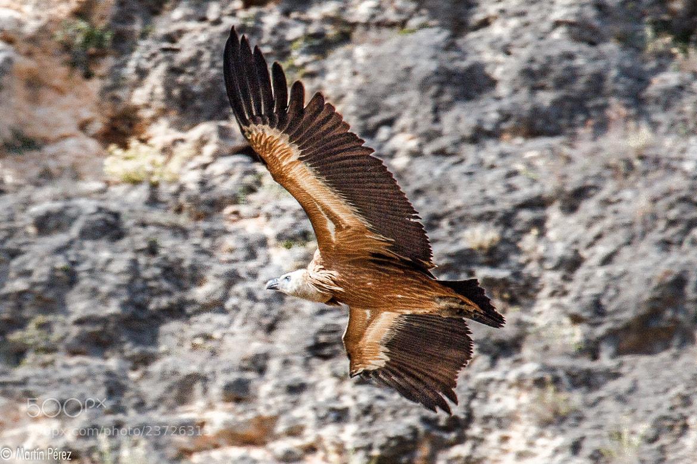 Photograph griffon vulture by Martín Pérez on 500px