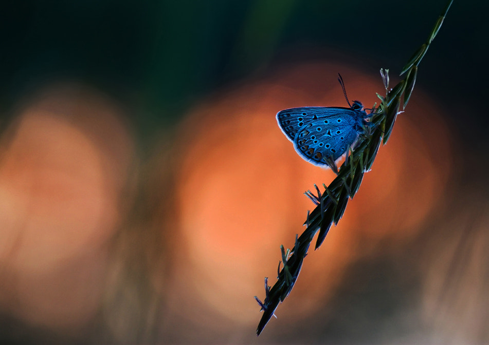 Photograph The nightfall of the butterfly by Marcsi Kesjarne on 500px