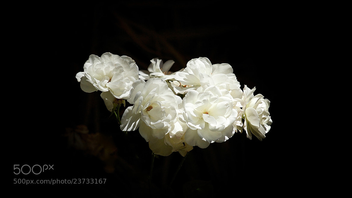 Photograph White Roses by MondoPhotography . on 500px