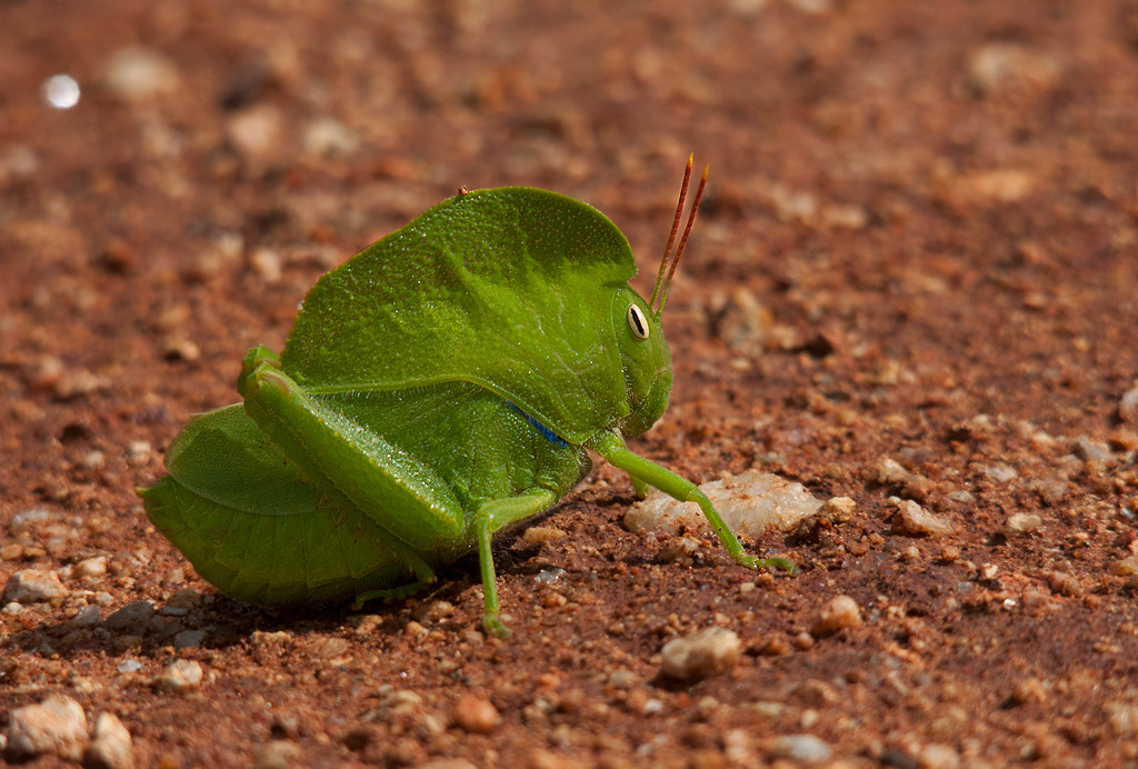 Photograph Walking Leaf - Hooded Grasshopper by Girish Prahalad on 500px