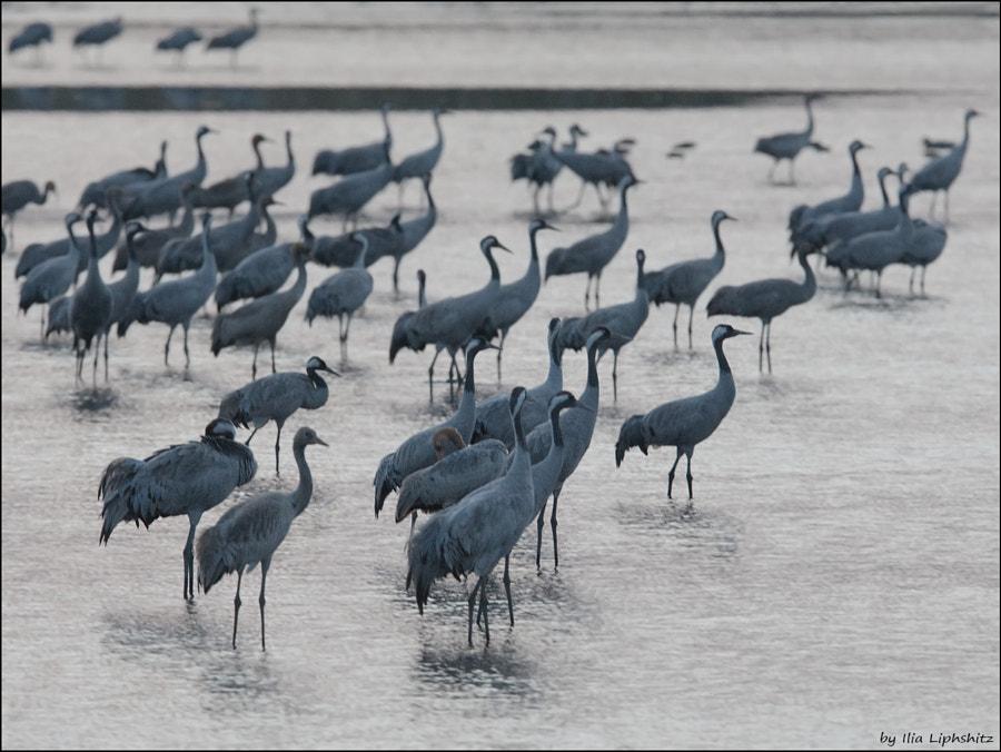 Morning cranes №2
