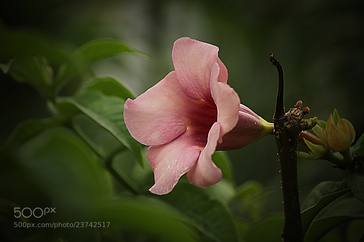 Photograph Pink Bell by jughnguevarra on 500px