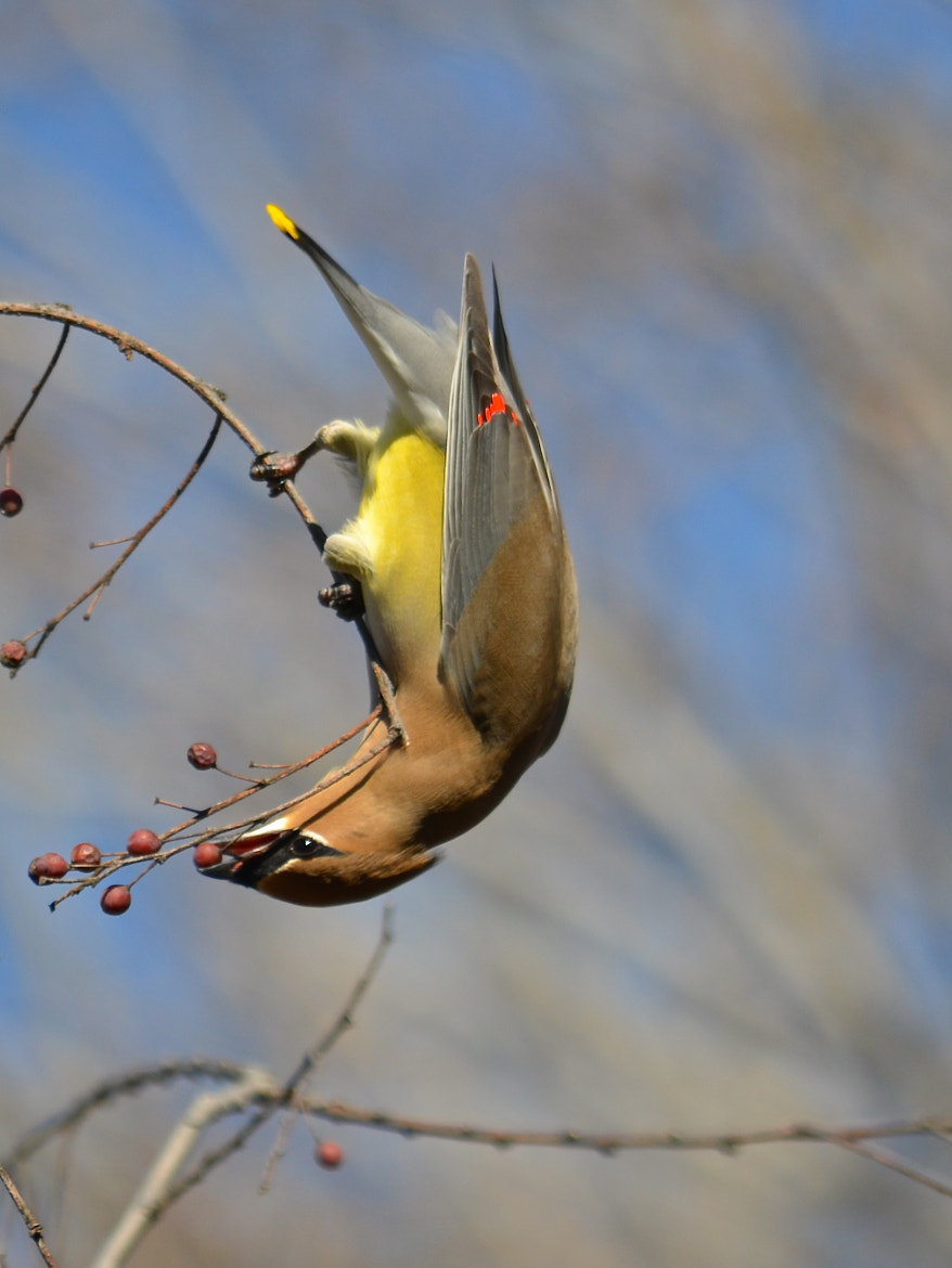 Photograph Cedar Waxwing by Steven Bach on 500px