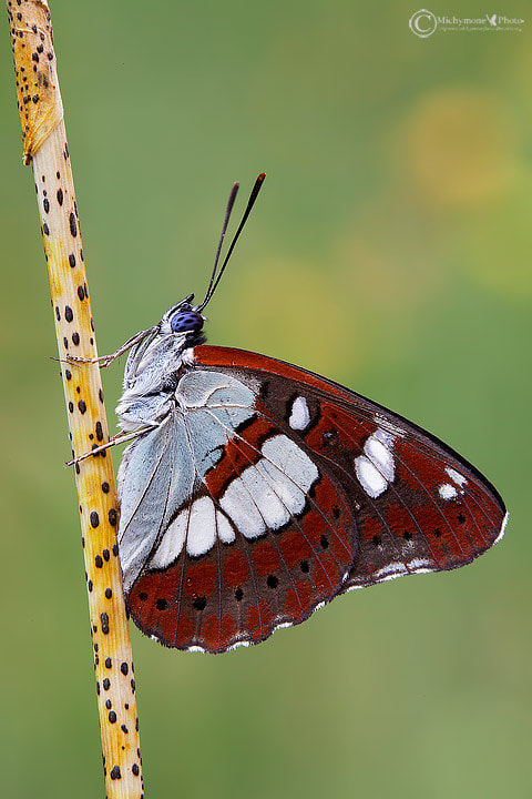 Photograph Limenitis reducta by Simone Gaina on 500px