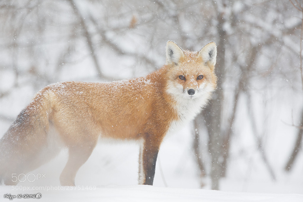 Photograph Fox in snow #2 by Philippe DE-BRUYNE on 500px