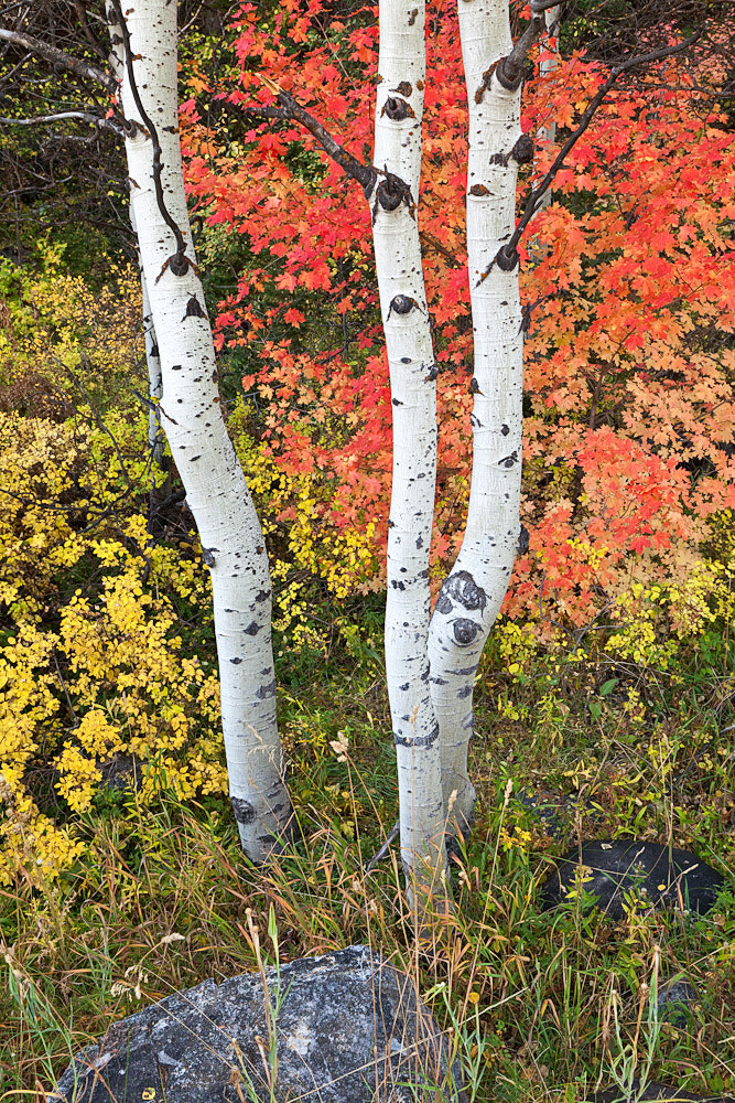 Photograph Aspen Trunks and Autumn Maples, Utah by Bret Edge on 500px