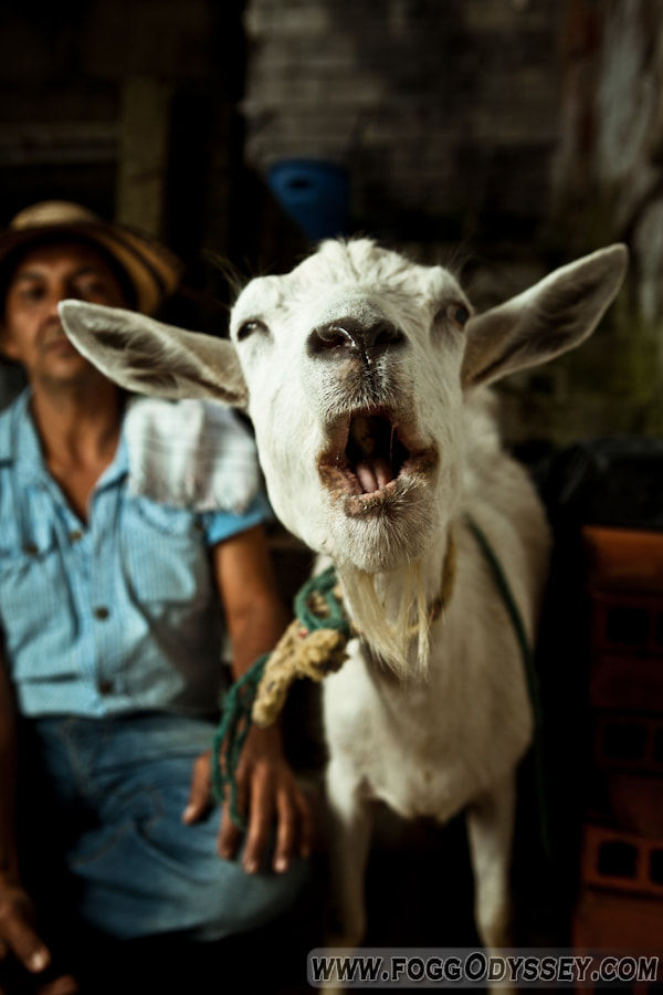 Photograph Mad Goat 4 by Troy Floyd on 500px