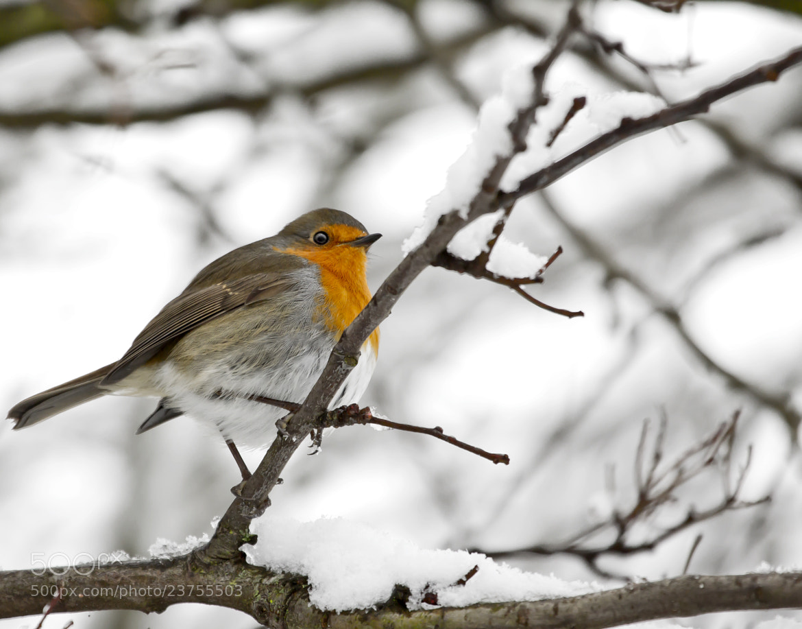 Photograph Robin by Mark Tizard on 500px