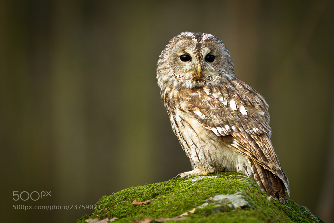 Photograph Tawny Owl by Peter Krejzl on 500px
