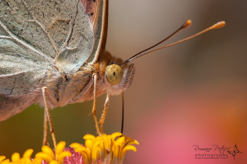 Photograph Butterfly by Romano Petesic on 500px