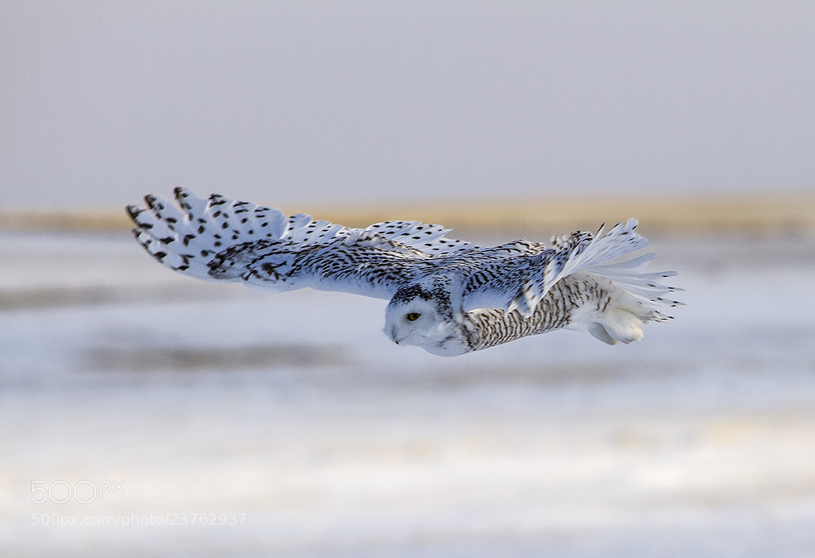 Photograph Snowy Owl by Walter Nussbaumer on 500px