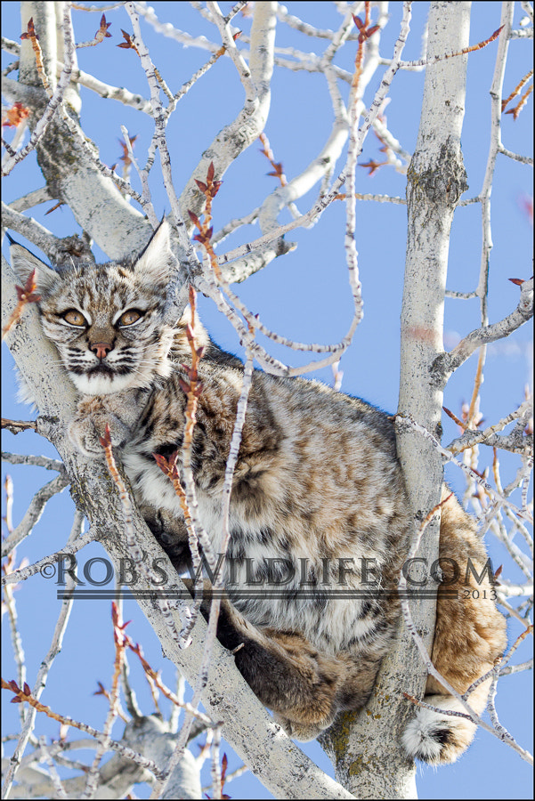 Photograph Bobcat by RobsWildlife.com  - Rob Daugherty on 500px