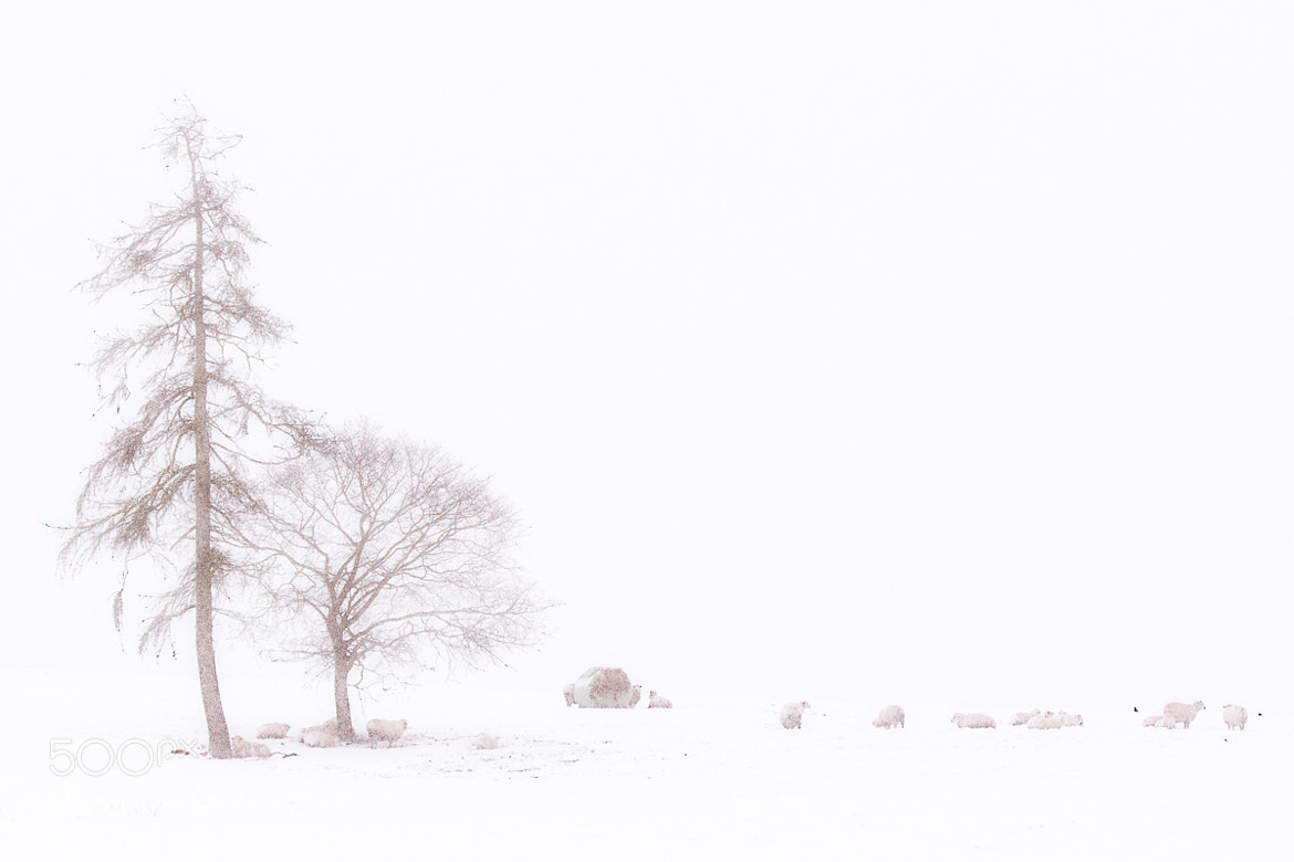 Photograph Trees, Snow and Sheep by Penny Myles on 500px
