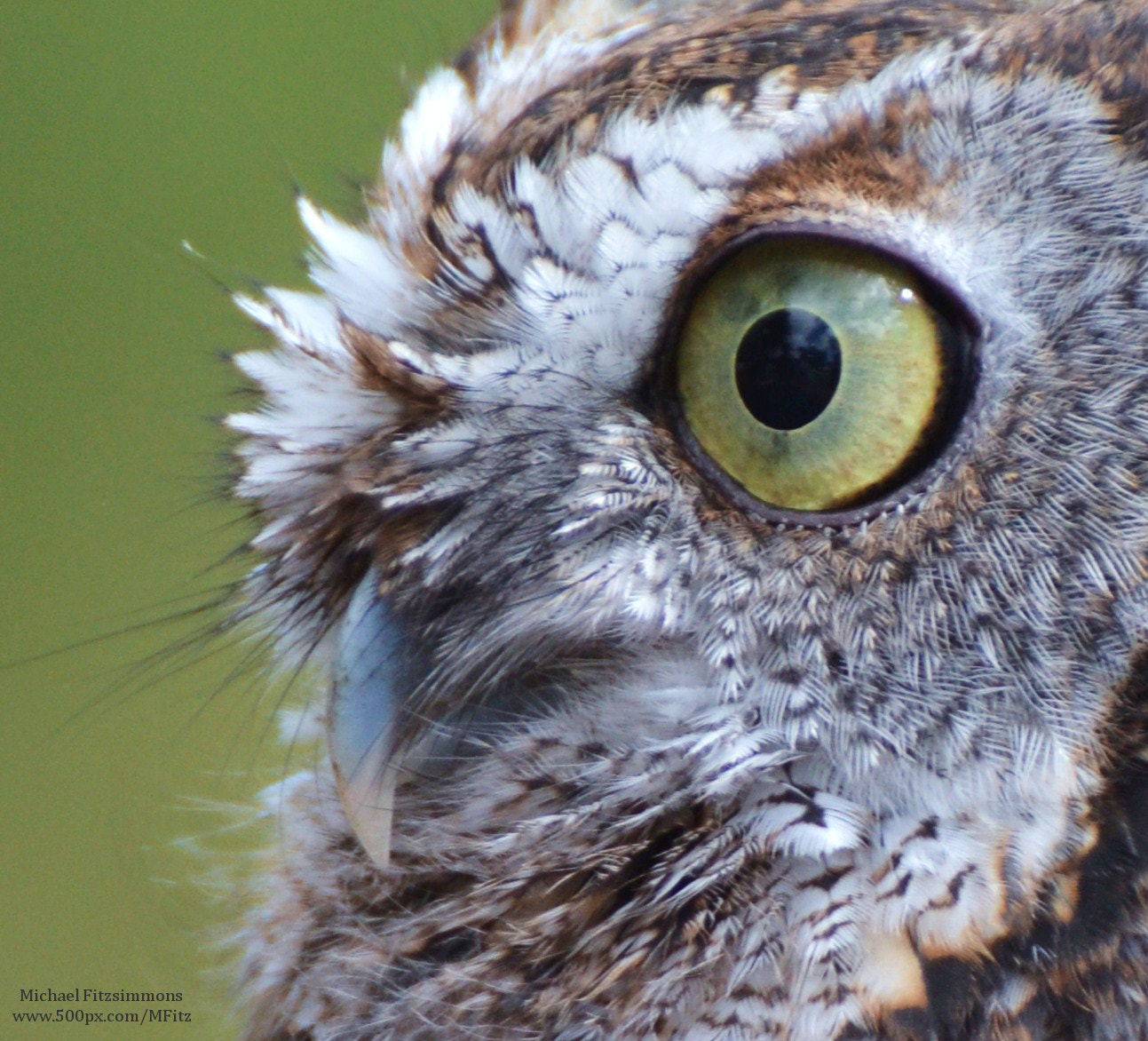 Photograph Screech Owl by Michael Fitzsimmons on 500px