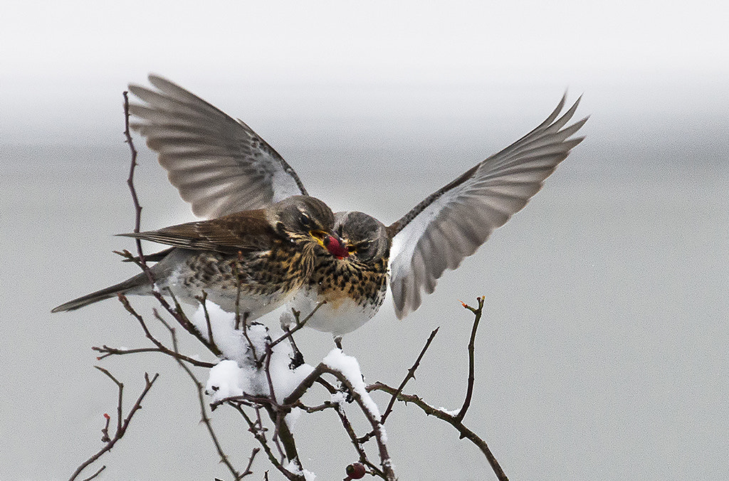 Photograph Fieldfares by Andrew Chu on 500px