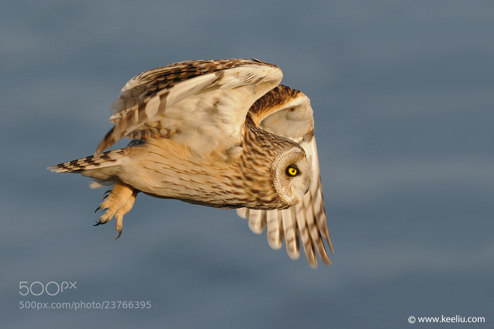 Photograph Short-eared Owl in flight by Kee Liu on 500px
